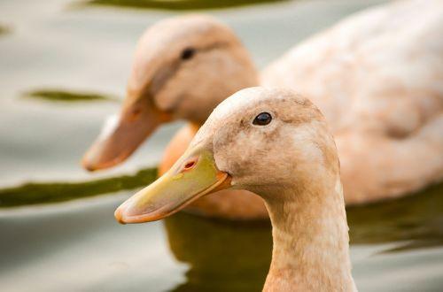 ducks birds creeks