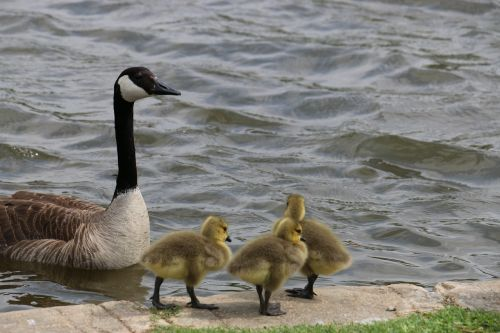 ducks ducklings baby animals