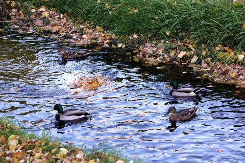 ducks duck pairs water