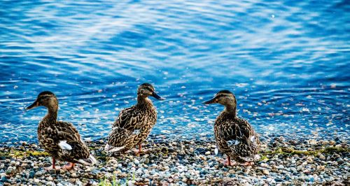 ducks lake animals