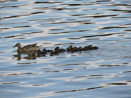 ducks nature wildlife