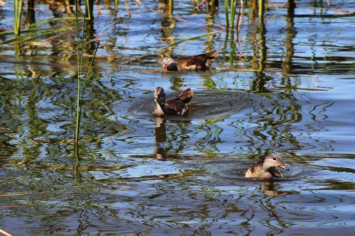ducks gadwall water bird
