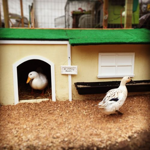ducks pekin welsh harlequin