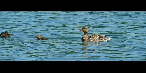 ducks duck animal
