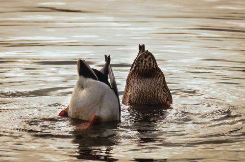 ducks mallards water