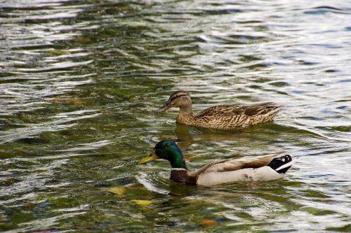 ducks anatidi anas platyrhynchos