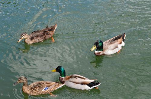 ducks mallard water