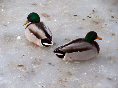 ducks ice winter