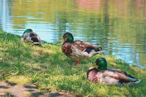 ducks wild ducks wild birds