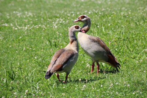 ducks meadow waterfowl
