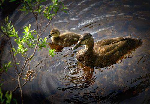 ducks birds wild ducks