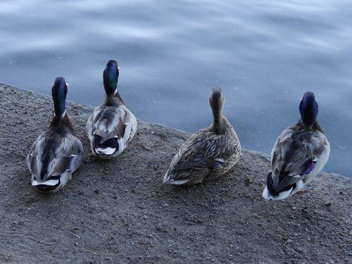ducks four ducks pensive ducks