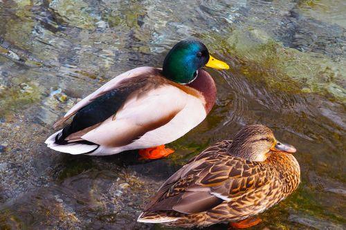 ducks barnacle mallards