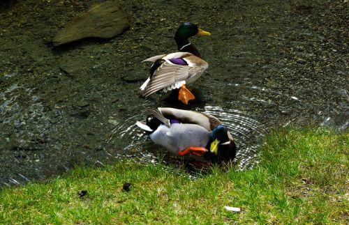 ducks mallard water bird