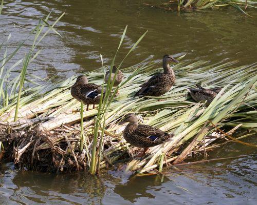 ducks reeds lake