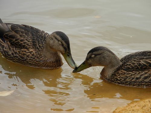 ducks animals feathers