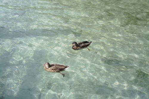 ducks lake natura