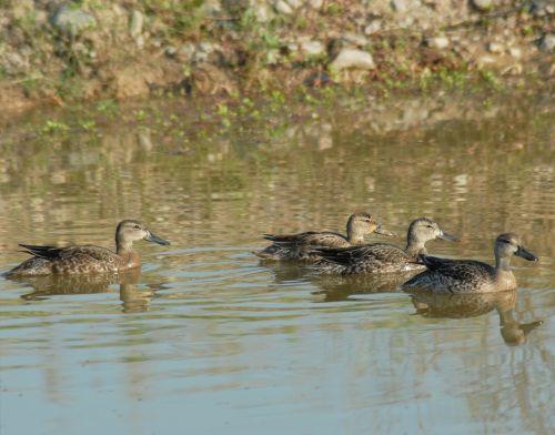 ducks ave waterfowl