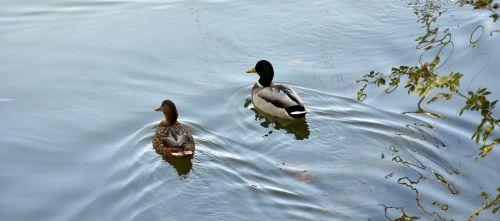 ducks autumn nature