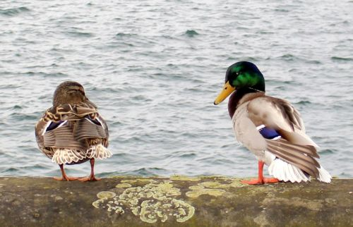 ducks drake couple