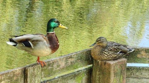 ducks  pair of ducks  wild ducks