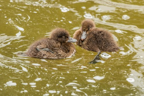 ducks  animal children  nature