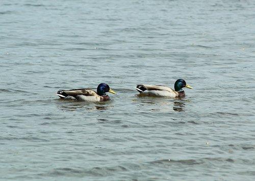 ducks  water  swim