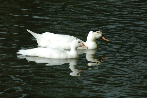 ducks  animals  ducklings