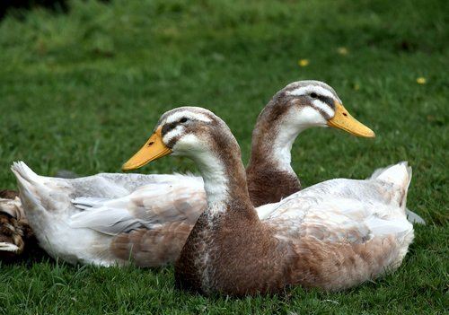 ducks  water fowl  sitting