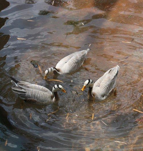 ducks  photo taken at animal kingdom  orlando fl