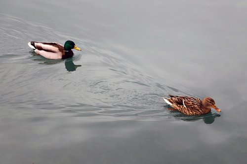 ducks  couple  water bird