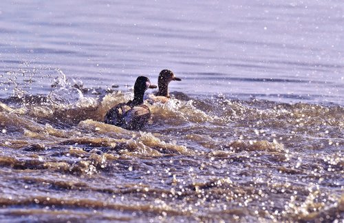 ducks  tracking  riot