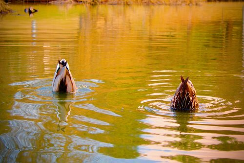 ducks  diving  pond