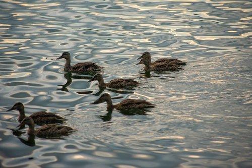 ducks  lake erie  erie