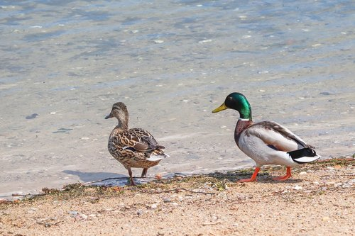 ducks  anas platyrhynchos  drake