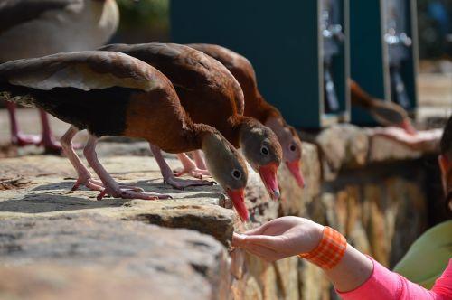 ducks feeding birds