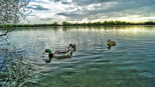 ducks mallard drake