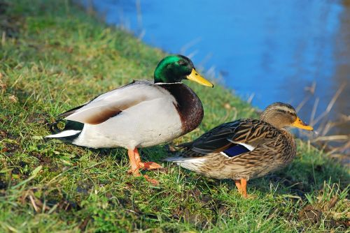 ducks pair of ducks water