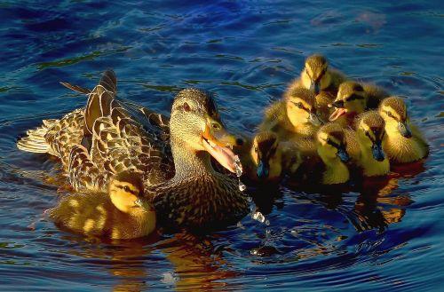 ducks water lake