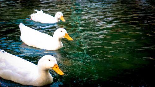 ducks lake water