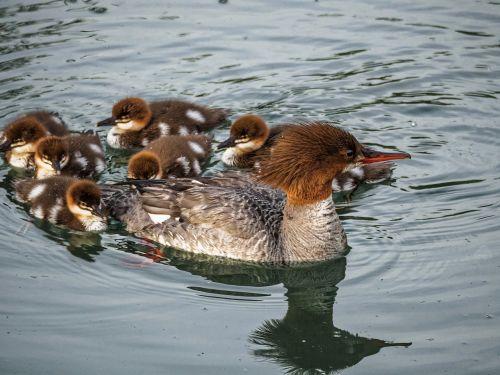 ducks baby ducks ducks in a row