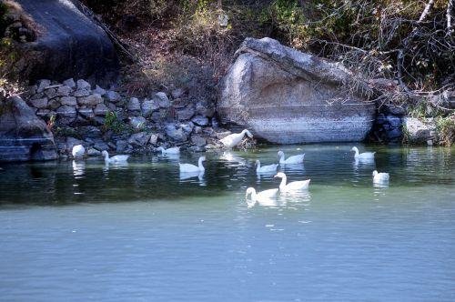 antis, paukščiai, ežeras, tvenkinys, vanduo, ančių domenas