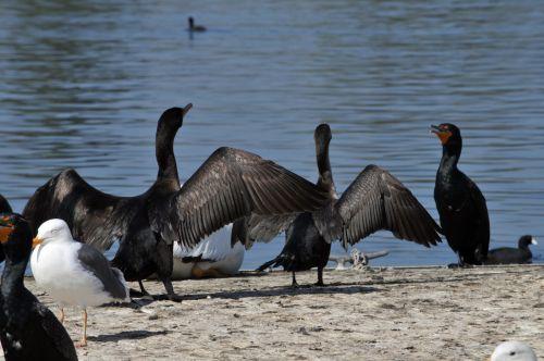 Ducks Drying Their Wings