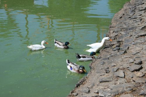 Ducks Leaving The Water