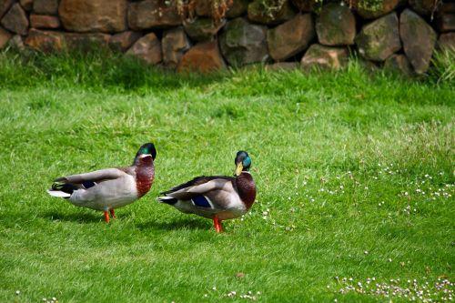 Ducks On Grass