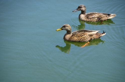 Ducks Wading