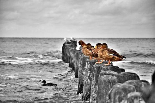 Ducks, Ducks