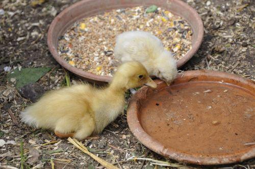 ducky duck chicks