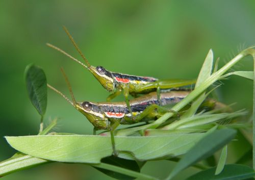grasshoppers insects couple