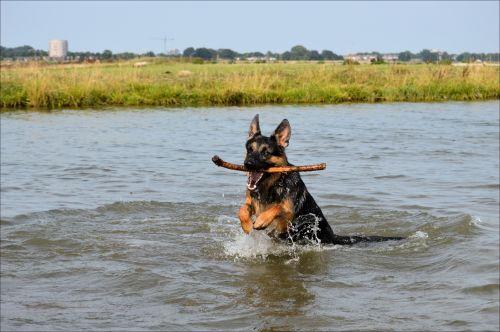 German Shepherd Nero 2